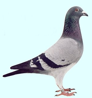 Kleine Fotos pigeonsport gaby vandenabeele
